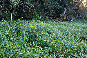Grass At Edge Of Forest