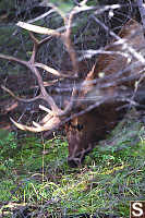 Male Elk Feeding