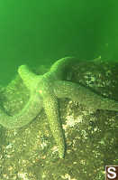 Troschel's Sea Star