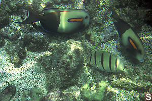 Two Orangeband Surgeonfish and Convict Tang