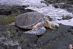 Turtle Hauled out at Kahalu'u Beach