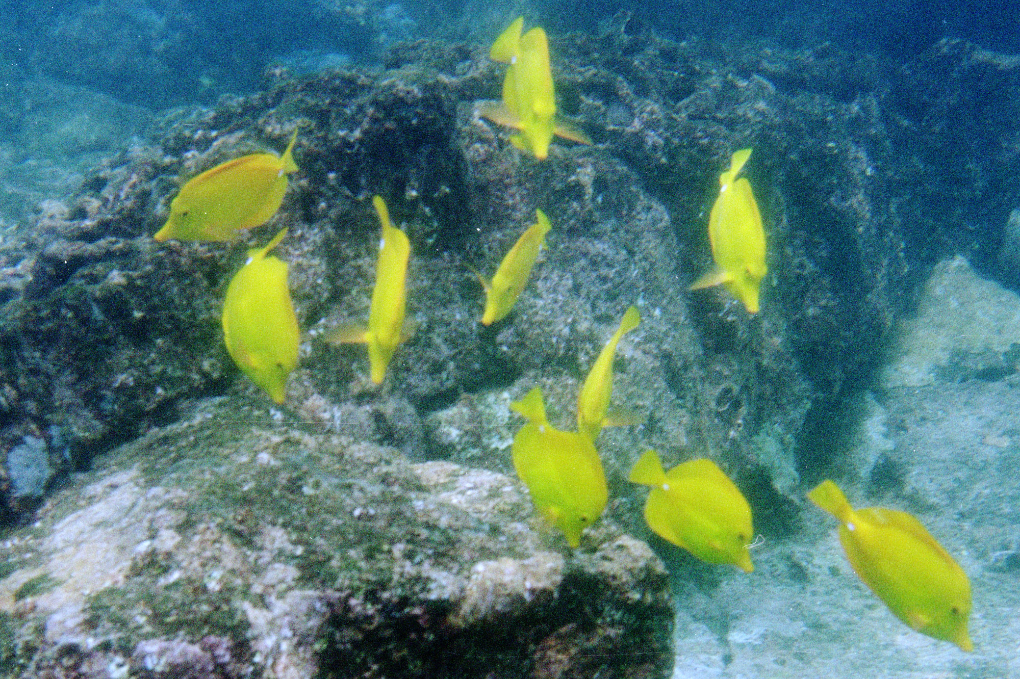 School Of Yellow Tang Fish