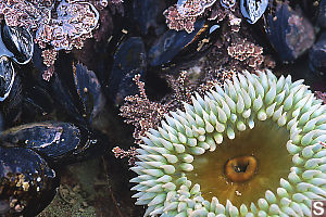 Anemone And Mussels