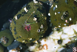 Three Closed Anemones