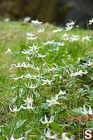 Field Of White Fawn Lily