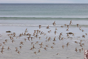 Western Sandpipers Flying By