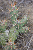 brittle prickly pear