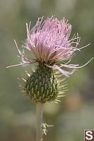 Wavy-Leaved Thistle