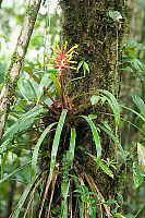 Common Bromeliad