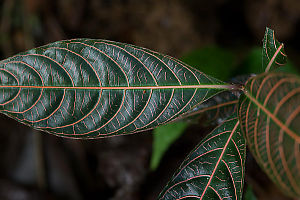 Dark Green Foliage