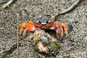 Small Land Crab