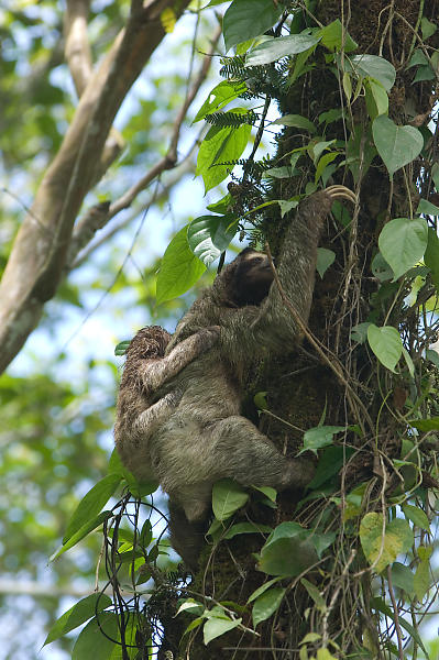 Three Toed Sloth Climbing