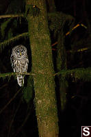 Barred Owl From Front