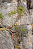 Arbutus Growing In Gorge