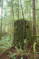 Old Growth Stump