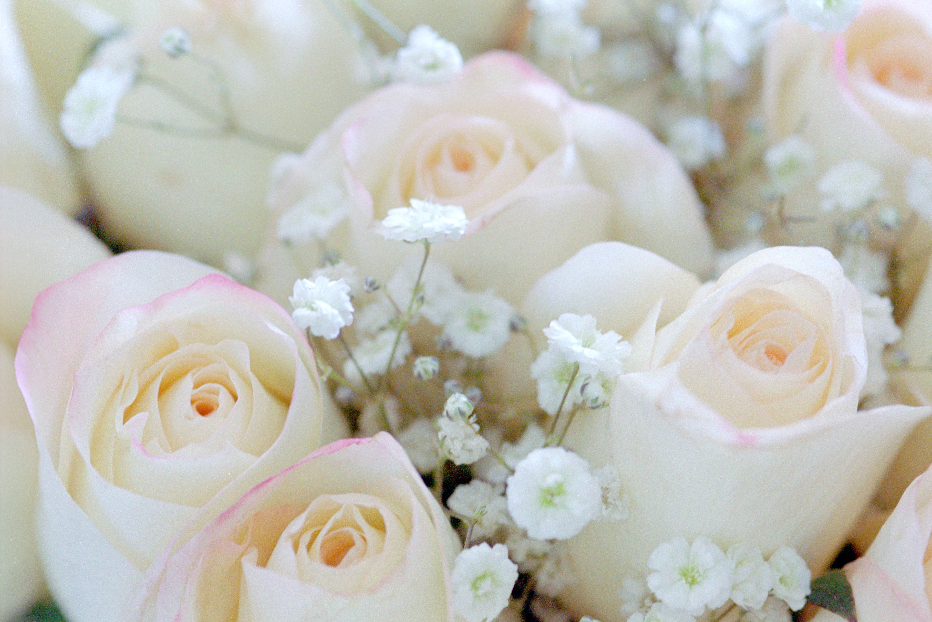 Pink Roses With Baby S Breath