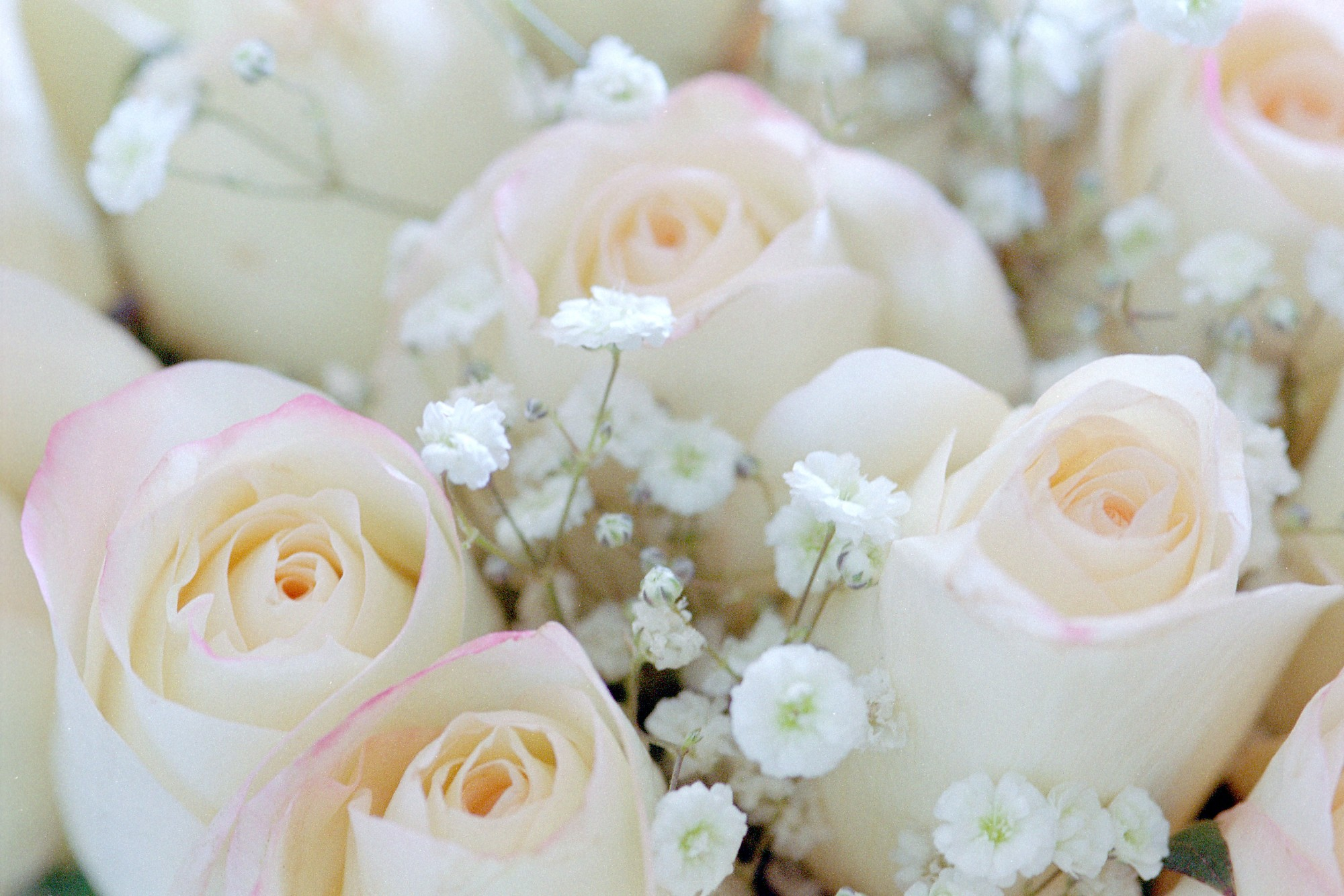 Pink Roses With Baby's Breath