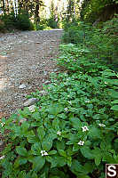 Canadian Dogwood Growing Trail Side