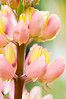 Pink And Yellow Lupine