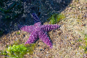 Purple Sea Star Coming Out Of Shadow