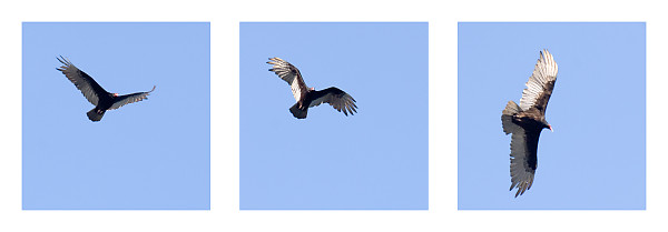 Turkey Vulture Circling