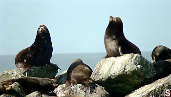 Sea Lion Collection