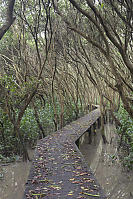 Elevated Boardwalk In Mangroves