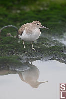 Common Sandpiper With Reflection