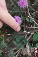 Leaves Curling In Mimosa Pudica