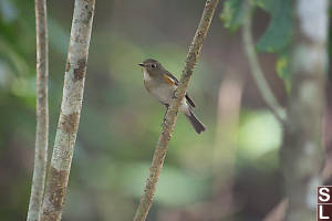 Red Flanked Bluetail In Forest