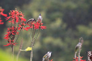 Red Whiskered Bulbul On Coral Tree