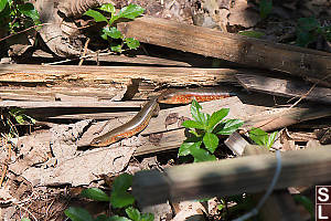 Two Skinks In Woodpile Hg