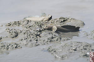 Mudskippers Showing Fins