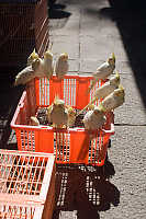 Cockatiels On Basket