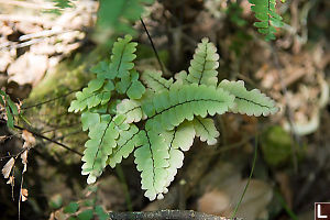 Some Light Green Fern