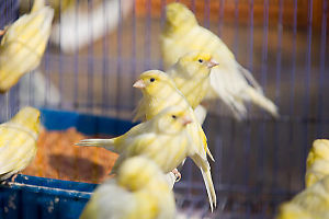 Yellow Birds In Cage