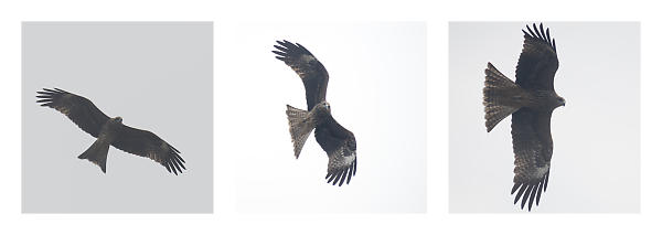 Black Eared Kite Turning