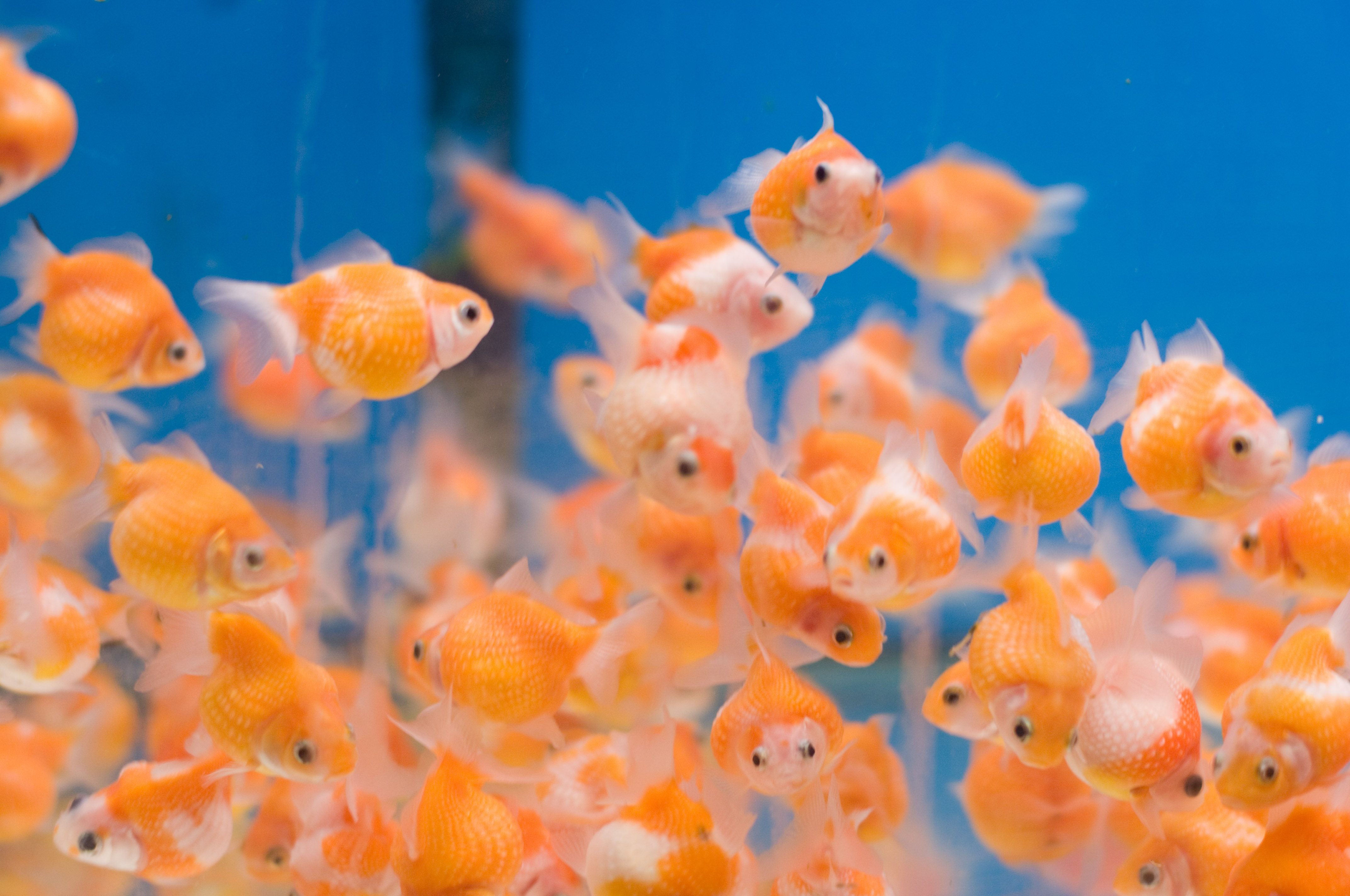 Gold fish in small acuriam best fish for small aquarium for Small fish pictures