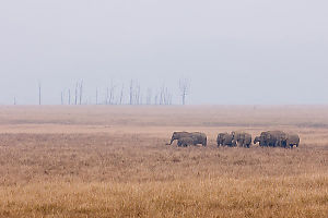 Elephants With Burned Trees Behind
