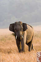 Juvenile Male Asian Elephant