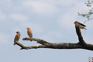 Three Starlings