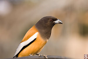 Rufous Treepie looking for hand outs