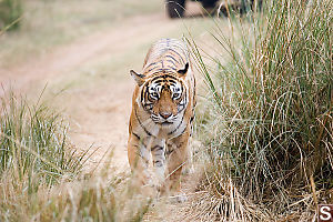 Tiger In Grass