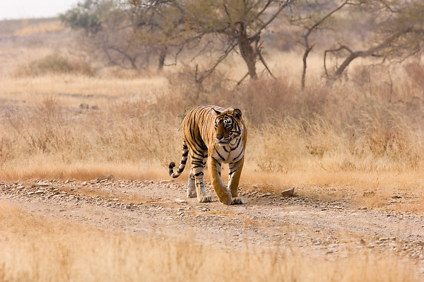 Tiger Walking Down Road