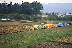 Rice Drying In Field