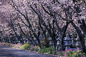 Row Of Sakura