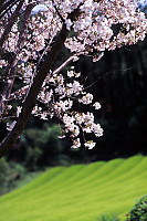 Sakura Over Tea Field
