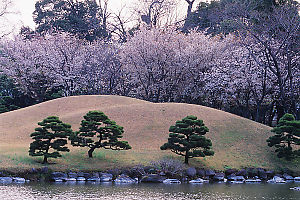 Cherry Blossoms Behind Hill