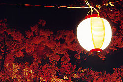 Single Lantern With Blossums Behind