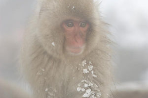 Foggy Monkey With Snow